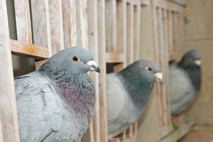 racing pigeons in nest boxes